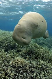 sea cow dugong