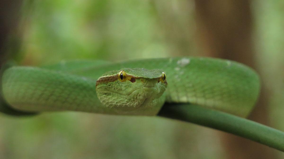Green viper / DeDan Living Colours