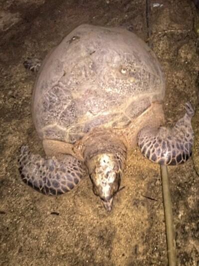 sea turtle nesting beaches indonesia bunaken