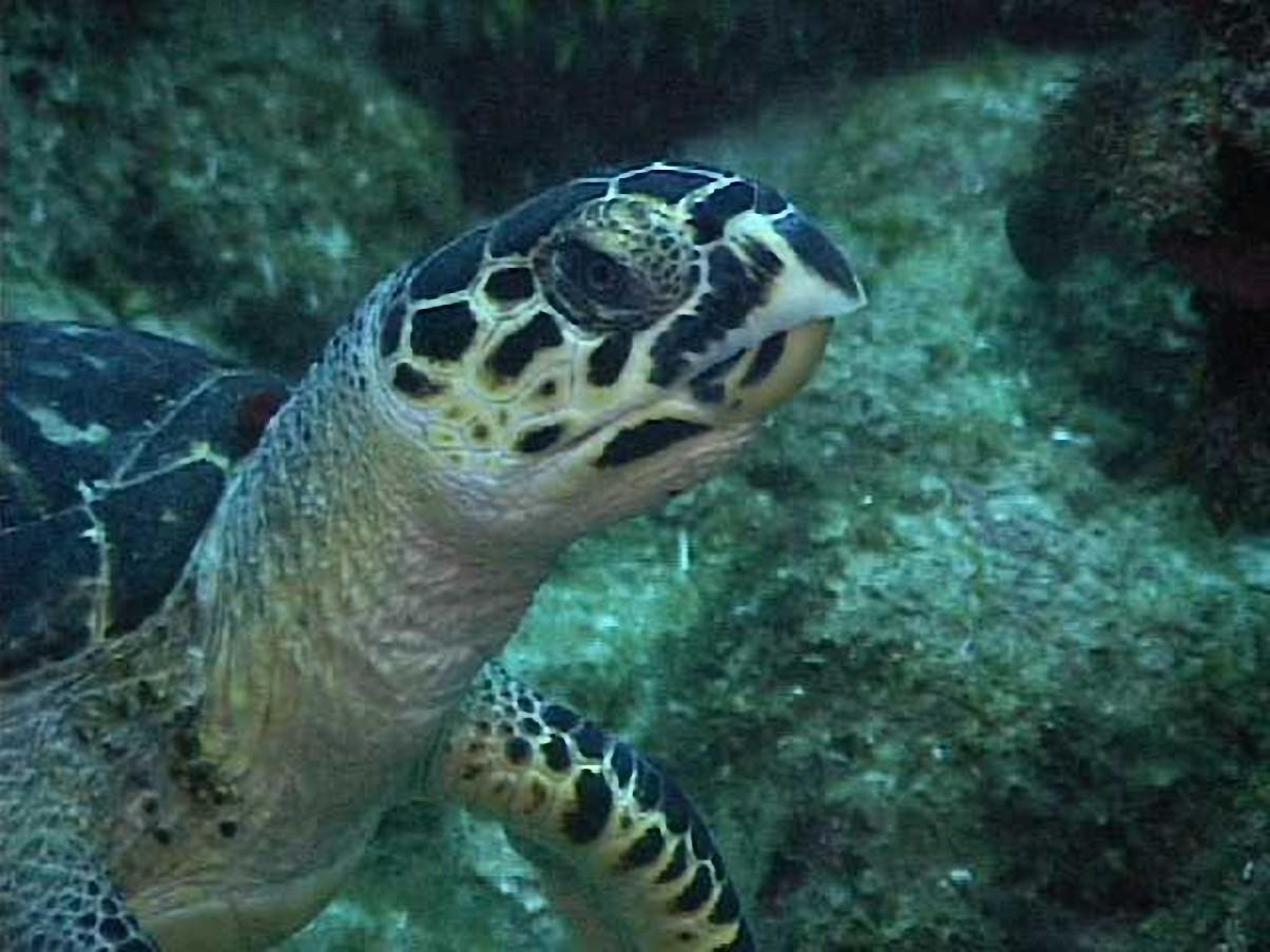 sea turtle species bunaken indonesia